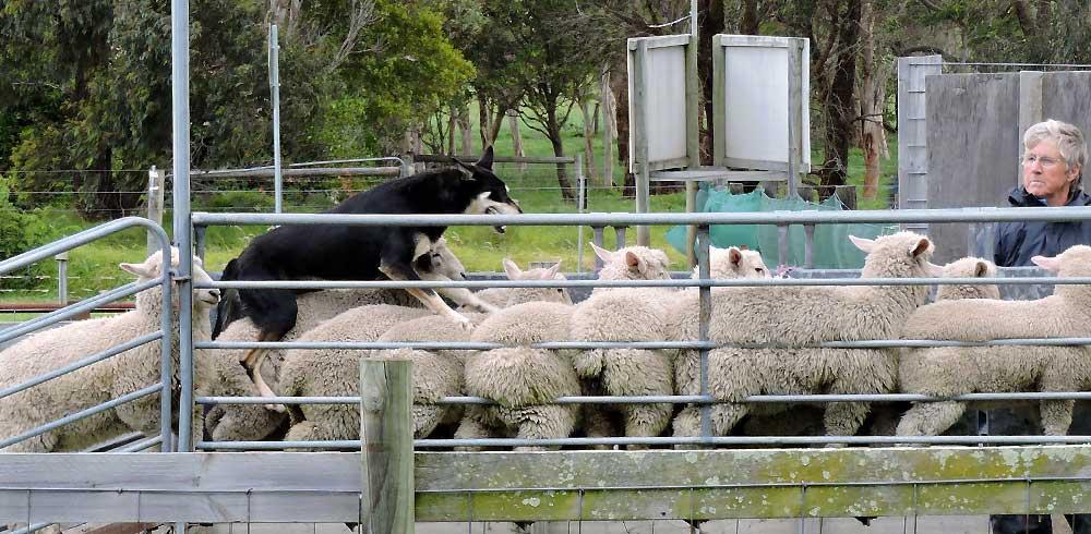 Dog jumping onto sheeps back