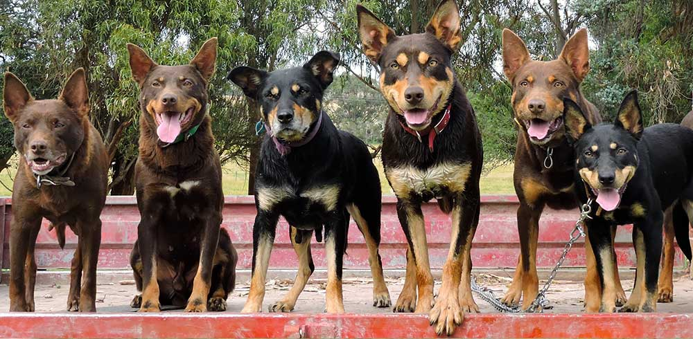 Dogs on ute in a line