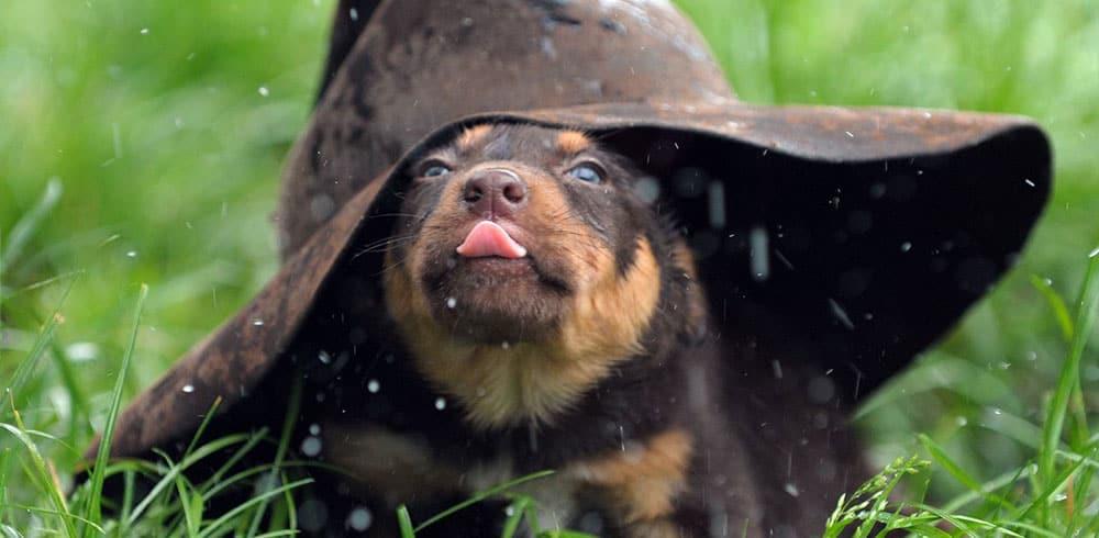 Pup under hat