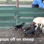 Puppies on sheep