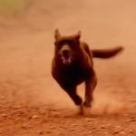 Beloka Bear in Red Dog